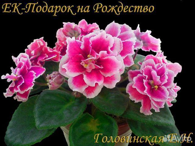 Фото фиалки подарок