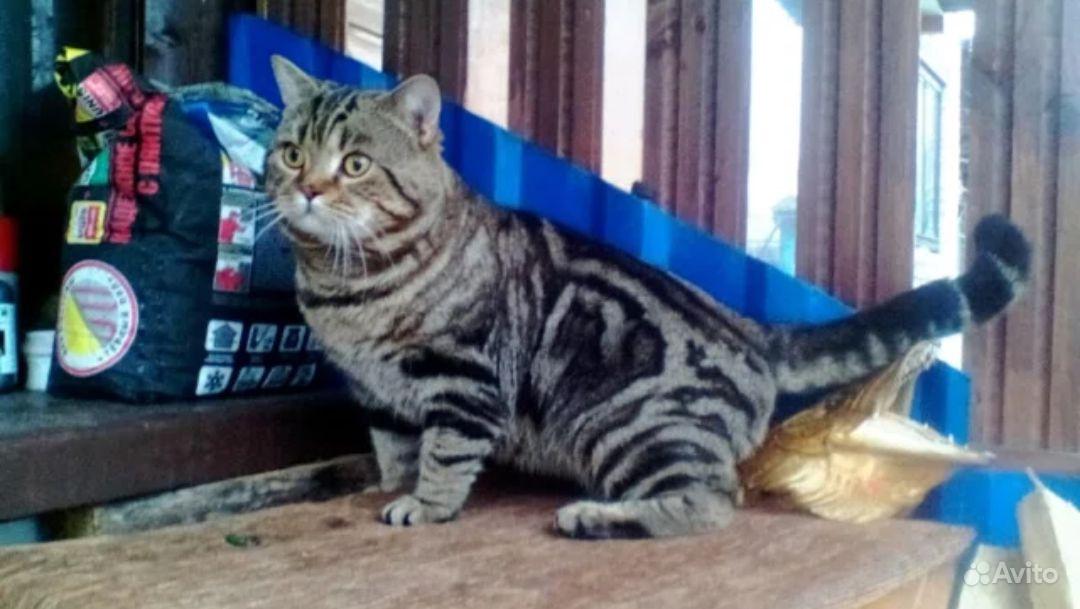 Британские котята в Воронеже - фотография № 4