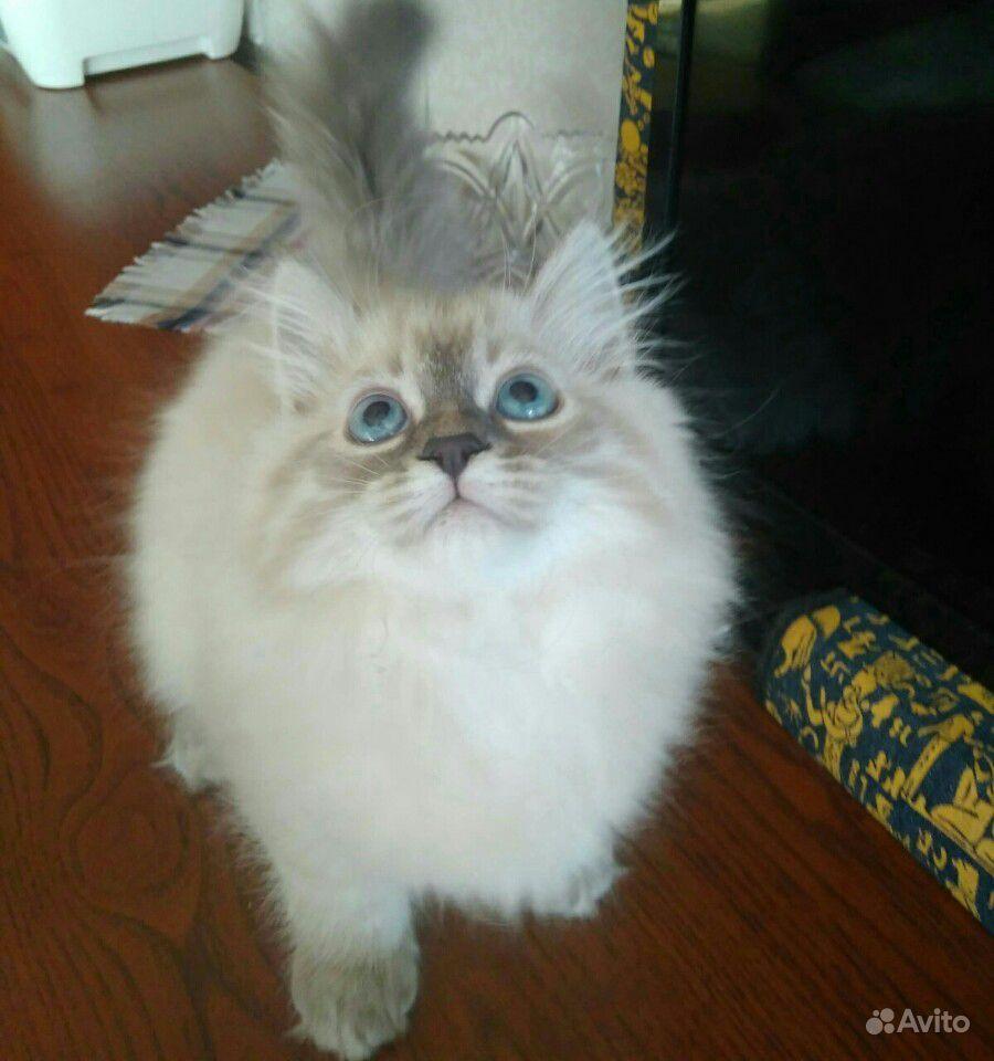 Котята невские маскарадные - фотография № 3