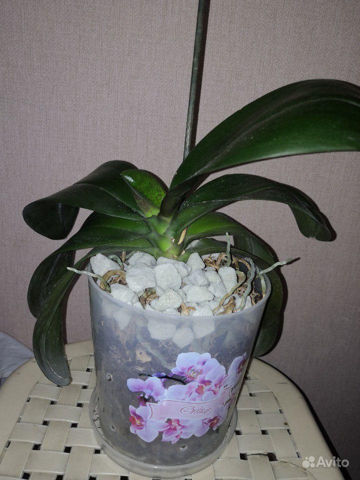 Редкая орхидея купить на Зозу.ру - фотография № 3