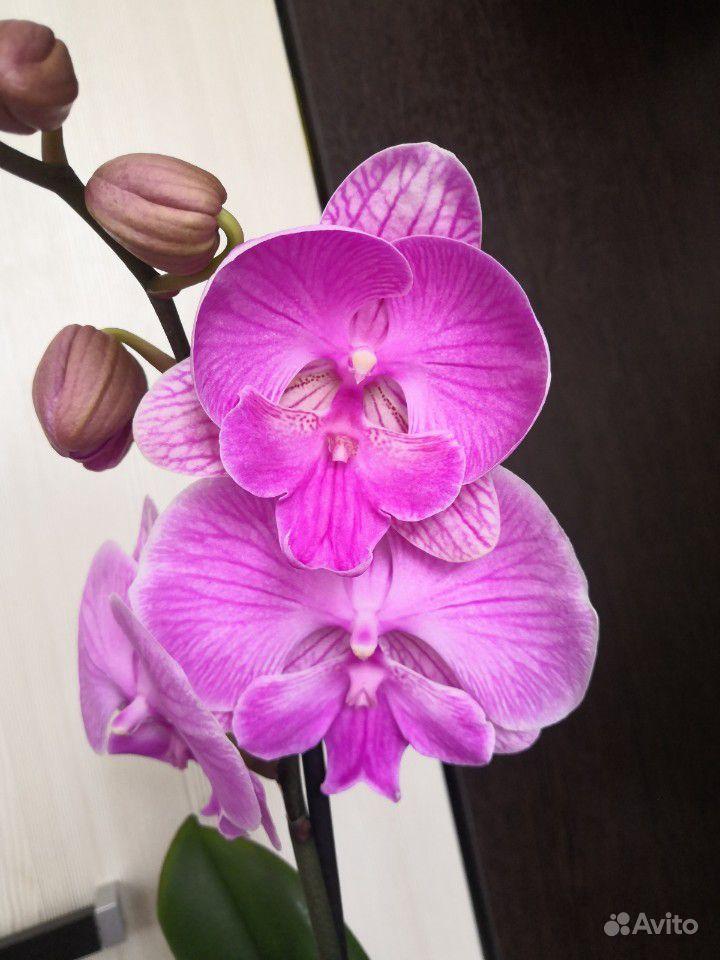 Шикарные орхидеи биг лип купить на Зозу.ру - фотография № 2