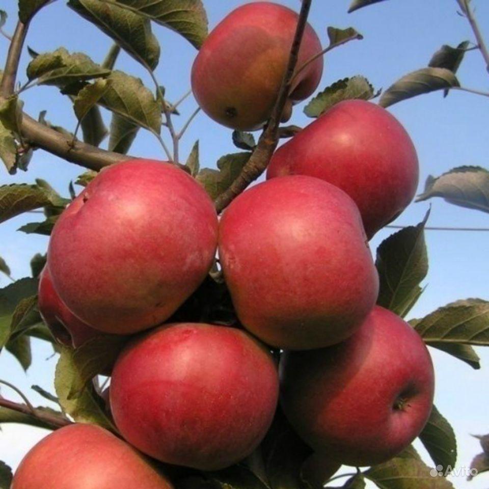 Саженцы яблони Гольден, Симиренко, Белый налив купить на Зозу.ру - фотография № 2