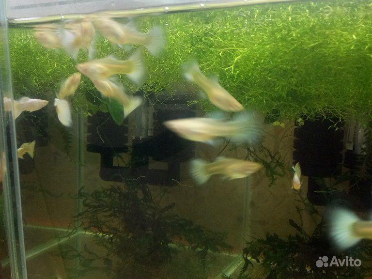 Породистая рыба купить на Зозу.ру - фотография № 5