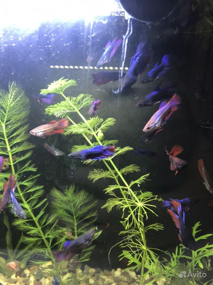 Рыбки Петушки подростки купить на Зозу.ру - фотография № 1