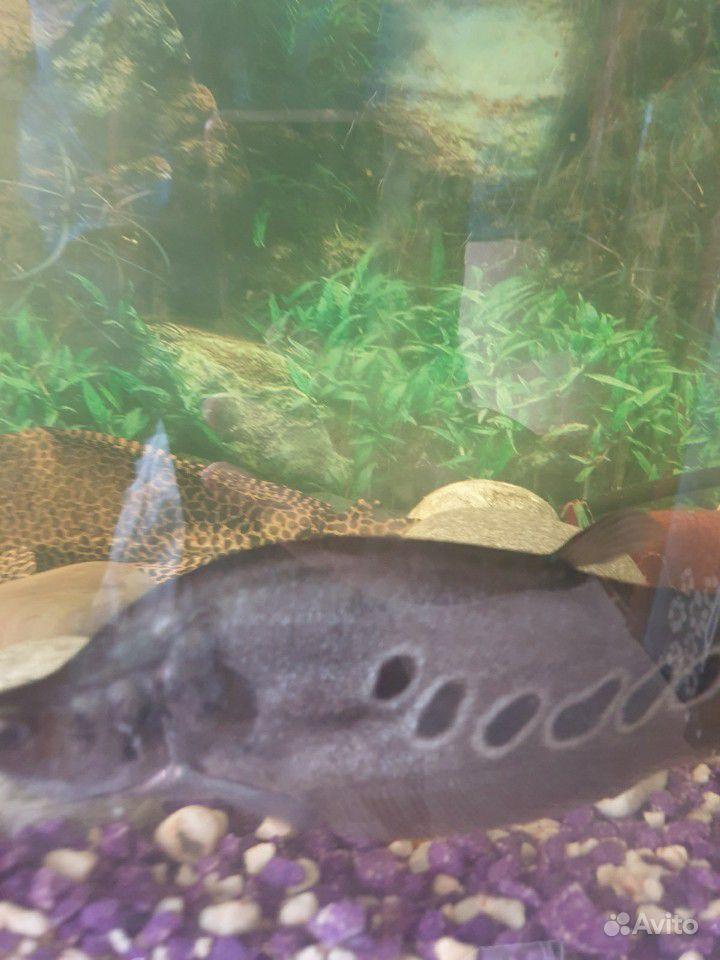 Отдам 3х рыбок за Киндеры купить на Зозу.ру - фотография № 2