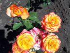 Саженцы плодовых деревьев, розы