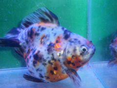 Разноцветные золотые рыбки
