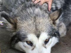 Найдена собака - маламут