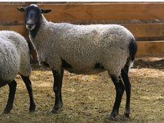 Овцы Романовской породы на племя, сукотные
