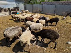 Овцы, Баран, Барашки