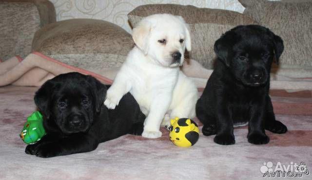 черные щенки ретривер фото