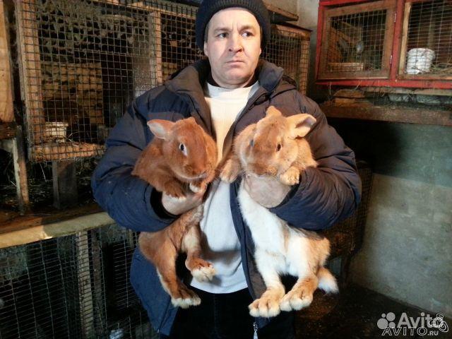 Кролы породы фландр, новозеландская красная, белая
