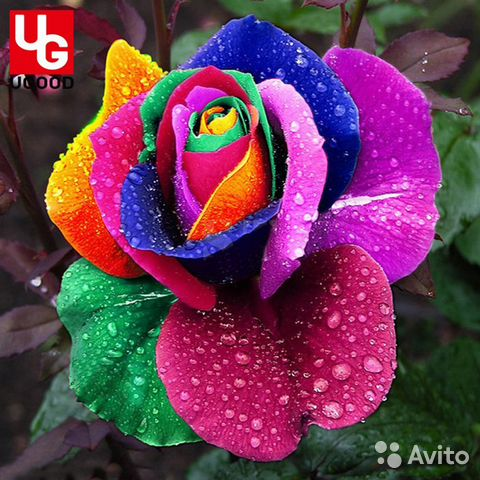 Семена радужной розы купить букеты, доставка по москве доставка цветов экспресс услуги по доставке