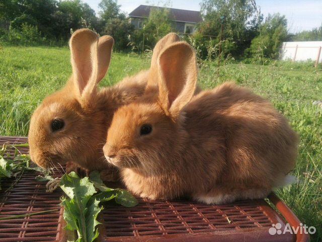 Красные кролики