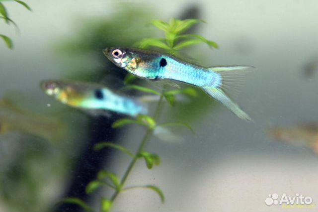 Рыбки гуппи эндлера