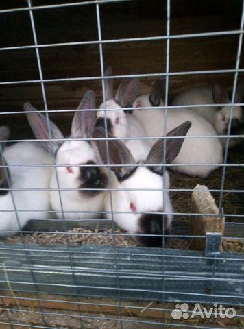 Продам калифорнийских кроликов купить 1