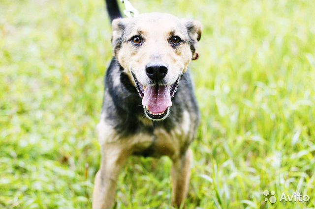 Отдам в добрые руки собаку Стенли купить на Зозу.ру - фотография № 2