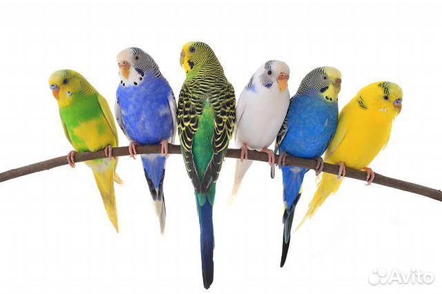 Попугаи для разведения, готовые пары 89788780978 купить 1