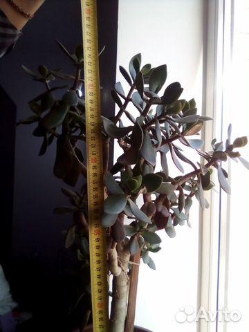 Толстянка (денежное дерево) 89615422677 купить 5