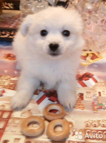 Puppy of the Spitz and Maltese dogs