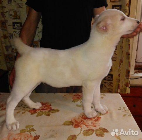 Продаються щенки Среднеазиатской овчарки купить на Зозу.ру - фотография № 3