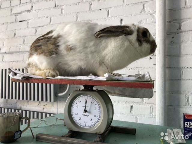Rabbits buy 2