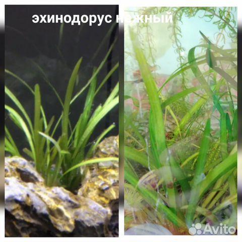 Аквариумные растения - 9 шт  89519173738 купить 10