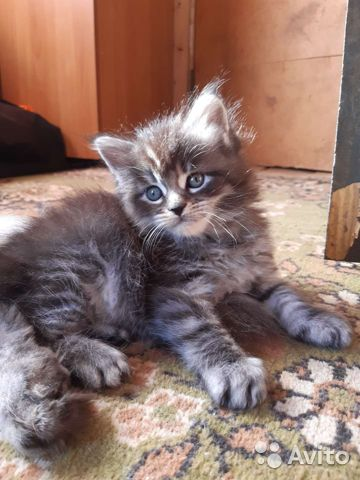 Kittens Maine Coon  buy 1