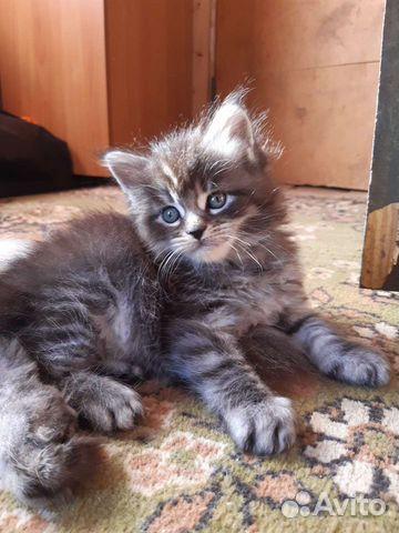 Котята Мейн-кун  купить 1