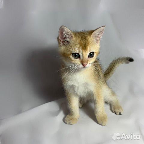 Кошка  89064224049 купить 4