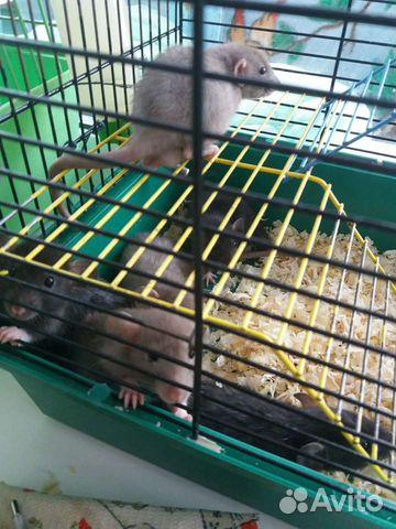 Крысята дамбо  89201636178 купить 2