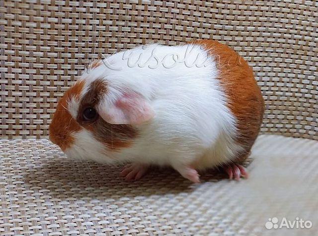 Гладкая морская свинка самец  89633433393 купить 2