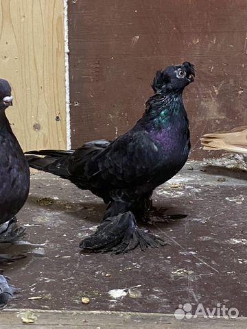Узбекские голуби  89134552444 купить 1