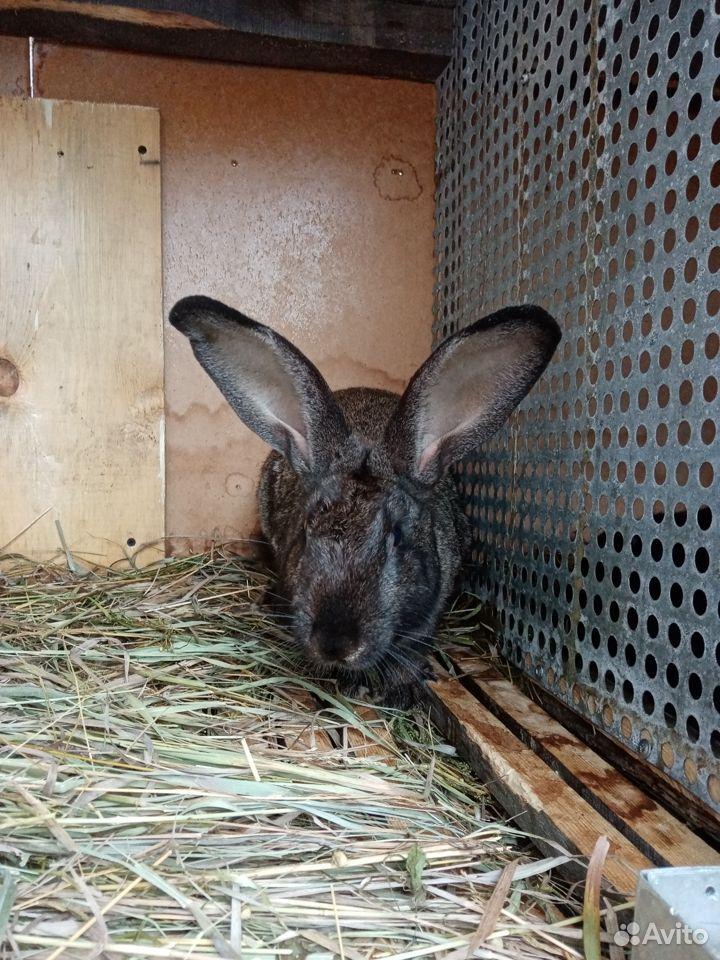 Продаются кролики  89058524280 купить 5