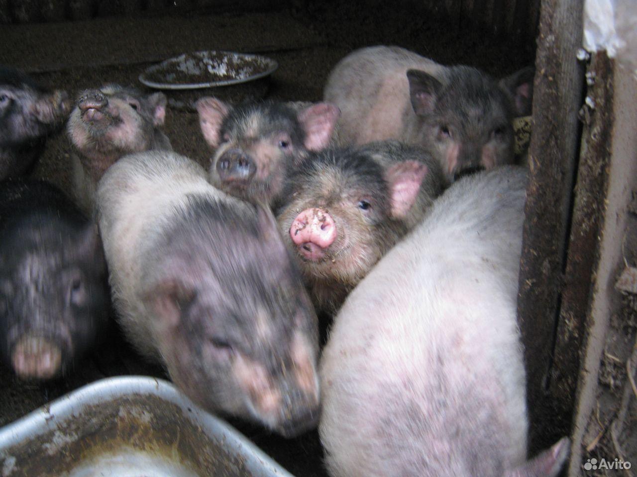 Вьетнамские свини  89283185709 купить 1