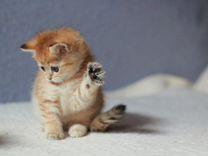 Котик британской породы