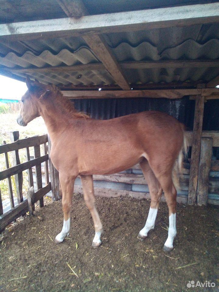 Лошадь  89048253386 купить 2