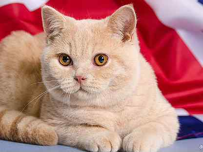 Шатландский кот