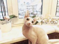 Кошка Канадский сфинкс