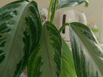 Аглаонема — Растения в Екатеринбурге