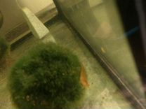 Аквариумные креветки